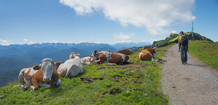 milker: idyllic mountain trail in the bavarian alps with cattle herd and backpacker