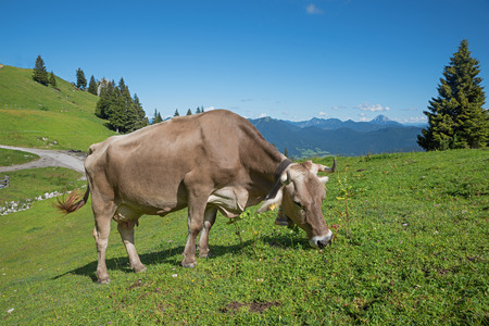 milker: brown milker with cowbell, grazing on a mountain pasture, upper bavaria Stock Photo