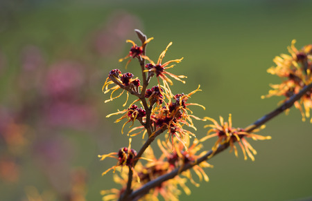 witch hazel: early blooming orange colored witch hazel and soft background Stock Photo