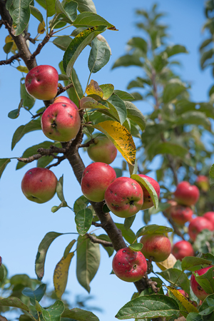 lots of: branch with lots of ripe red biological apples