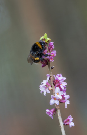 dafne: bumblebee on blooming toxic daphne mezereum twig, selective focus. Archivio Fotografico