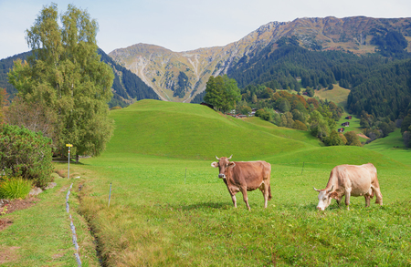 milker: brown cattles in idyllic pasture landscape beside hiking route in the swiss alps