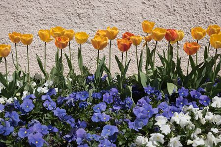 violas: orange tulips and blue violas in front of a rough stone wall