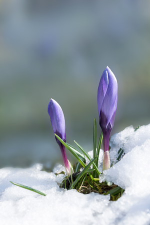 early spring snow: purple crocus buds break through the snow cover at spring awakening. Soft background with copy space