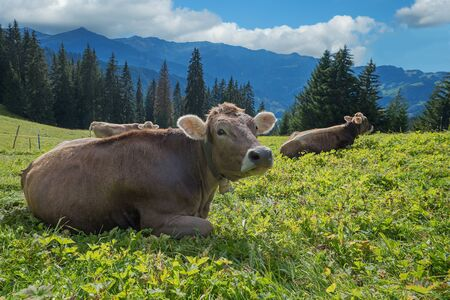 meadowland: relaxing cows on a pasture in the swiss alps. selective focus
