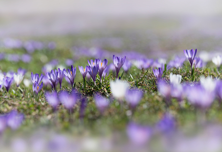 early alpine spring crocus purple and white. With selective focus and soft background