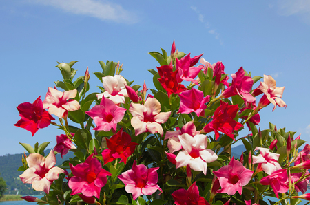 decorative mandevilla creeper plant with blossoms in shades of red Stockfoto