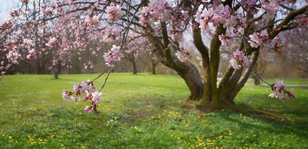panorama fioritura rosa ciliegio nel parco, messa a fuoco selettiva