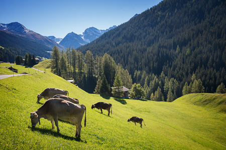 meadowland: grazing cows at the hillside, switzerland