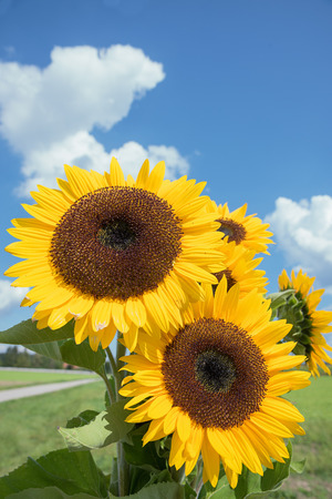 sunflower seeds: bunch of sunflowers, blue sky with clouds and copy space