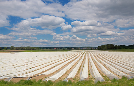 asparagus field protected with plastic sheets