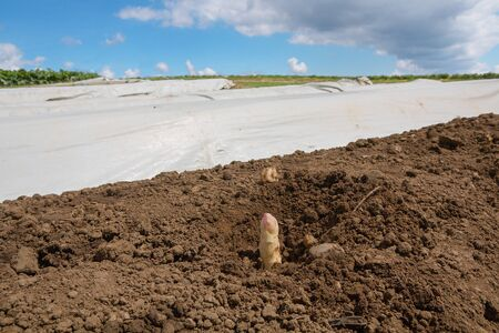 white asparagus spear coming out of the soil, other rows of the field covered with plastik sheet. harvest time.