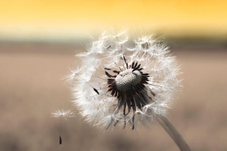 one dandelion clock with seedlings, sepia toned, at sunset 版權商用圖片