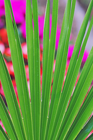 green fan palm leaf against blurry flowerbed background Stock Photo