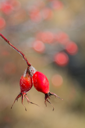 frostyrose hip twig with ripe red berries, blurry background with copy space