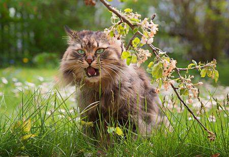 funny siberian pedigree cat enjoy beeing in the garden