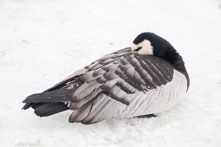 young canada goose sleeping at the snowy riverbank