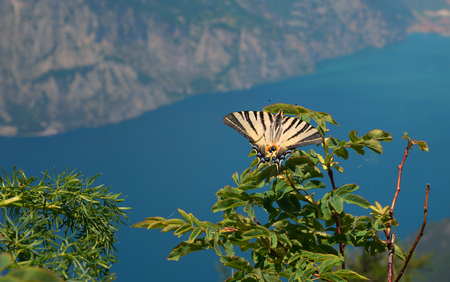 rarely and protected Swallowtail butterfly in summer, Iphiclides podalirius. wildlife shot at monte baldo mountain, lake garda in the background