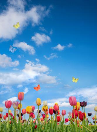 luminosa giornata di sole a maggio, campo di tulipani e cielo nuvoloso blu con farfalle e copia spazio