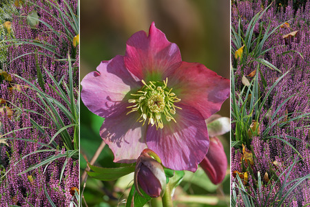 collage winter - christmas rose and pink heather plant with grass Stock Photo