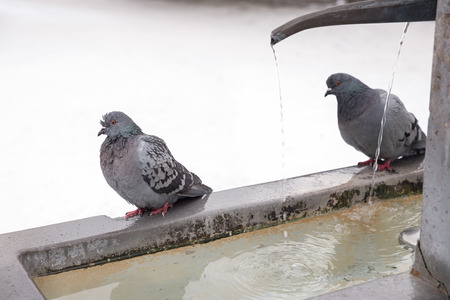 grey city dove couple, columba domestica at a standpost with water