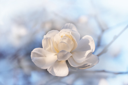 opened white magnolia blossom outdoor with soft background. sympathy card design with copy space