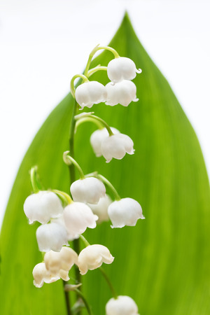 closeup of a lily of the valley with green leaf on white background Stock Photo