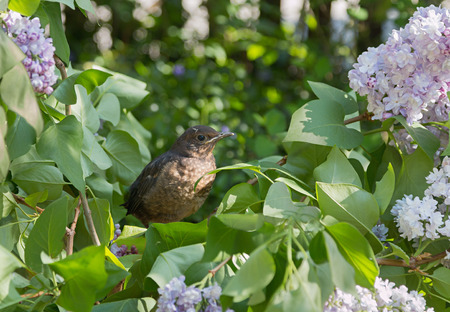 young clumsy blackbird sitting in a lilac bush