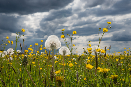 meadow with buttercups and blowballs, against dark grey thunder clouds Stock fotó