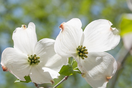 two blossoms of a japanese dogwood bush against blurry leaves background light green Stock Photo