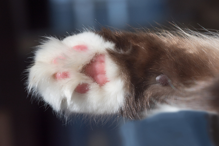 paw of a siberian pedigree cat, white and brown with pink pad