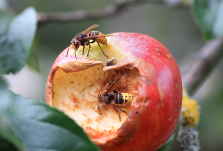 two big hornets sucking at a ripe apple in the garden.
