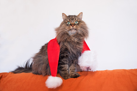 siberian pedigree cat posing with red santa hat, funny christmas card background with free space for text