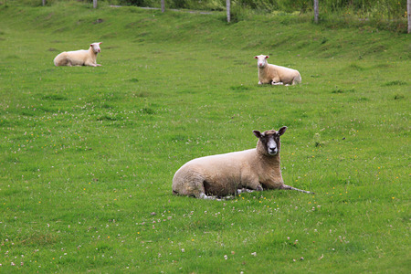 sheep lying on the green pasture. selective focus Imagens