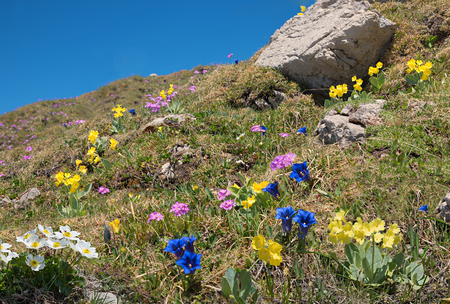beautiful alpine flora with blue gentian, pink primrose and auriculas - protected wildflowers. blue sky with copy space.