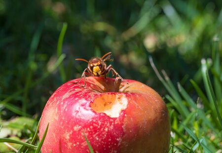 hornet on a red ripe apple in the grass, blurry green background with copy space, front view of the insect Banque d'images