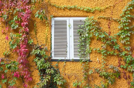 yellow painted wall with red and green virginia creeper and white window with closed shutters