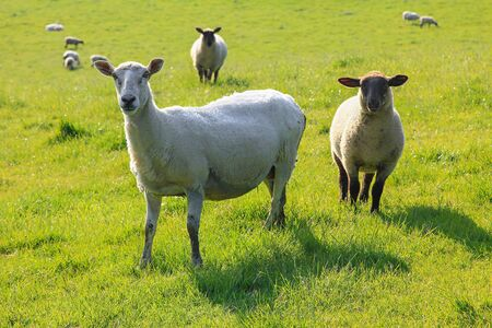 two nosy sheep on a green pasture, south england 免版税图像