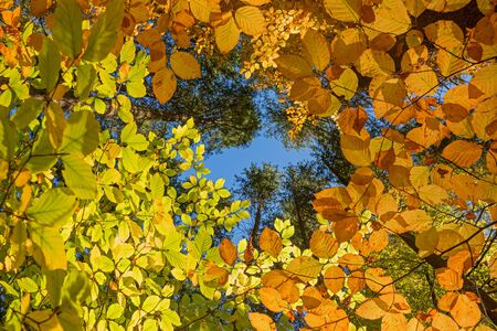 view from bottom up to the tree crowns, colorful beech leaves in autumnal forest