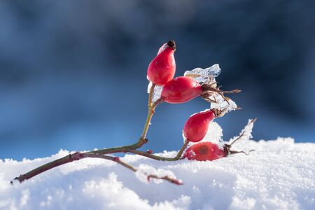 twig of a dogrose with berries in winter on a heap of snow, dark blurry background with copy space Stok Fotoğraf