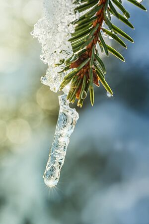 snowy small fir twig with green needles and dew drops, light flares in the background Banco de Imagens