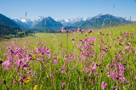 spring meadow with pink lychnis flowers, mountain landscape allgau near oberstdorf, south germany