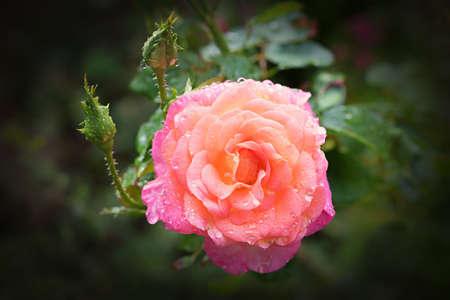 pink rose with dew drops, floral mourning design, soft black vignette