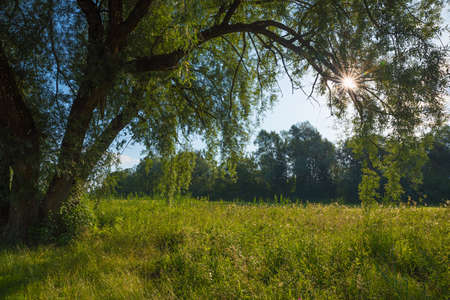 old willow tree with big branches and bright morning sun, beautiful landscape in nature preserve
