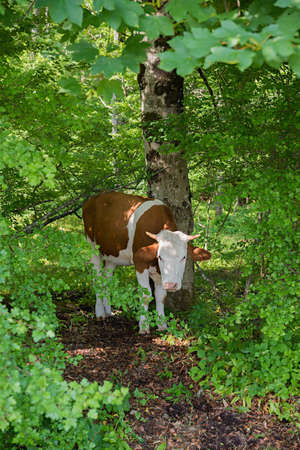 nosy cow at a path in the green forest, beside a tree