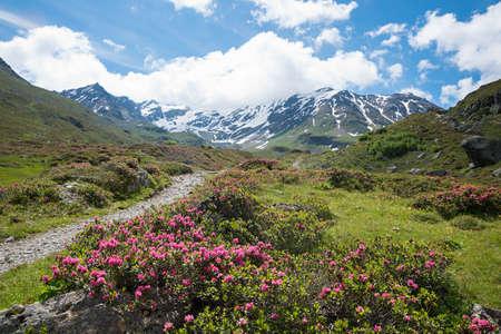 blooming alpine roses at idyllic mountain landscape durrboden, dischma valley grisons switzerland prattigau