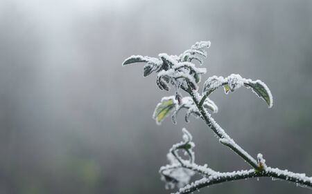 The first November frosts in Poland. Frozen twigs of cherry tomato plants with blurry background.