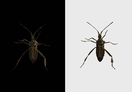 Leptoglossus occidentalis, western conifer bug seed isolated on black and white background. Bottom view.