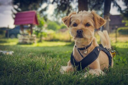 Small beige mixed breed dog with a bell on the neck. A well on a blurred background. 免版税图像