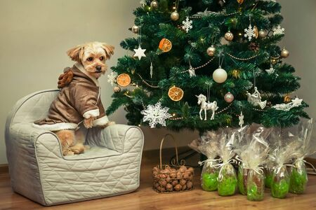 A meringue dog posing on an armchair in a Christmas sweater by the Christmas tree.